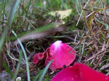 opt-rose-petals.jpg