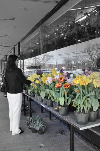 tulips009-opt