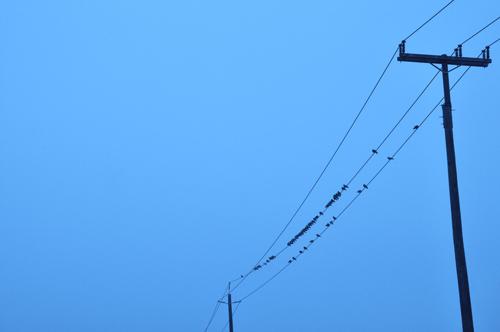 bluebirdsonwire03-opt