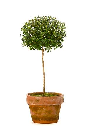myrtletopiaryplantterrainstore-opt