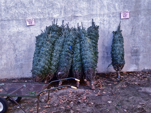 unloadingchristmastrees-opt