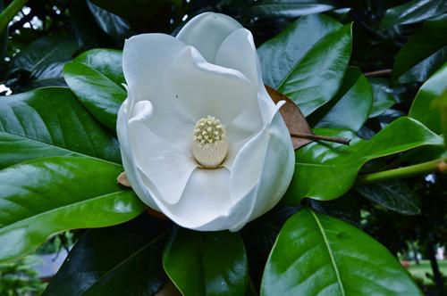 magnoliablossomnorthcarolina02-opt