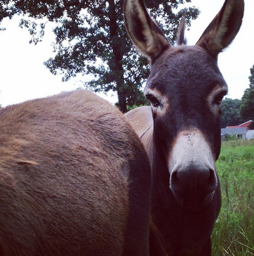 chocolated-mini-donkeys-opt